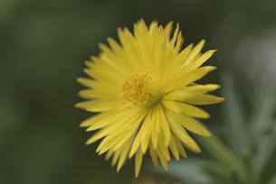 花 午後3時頃に開花する黄色の三時草の写真素材 [FYI04878489]