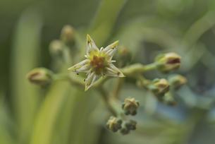 花 多肉植物 エケベリアの写真素材 [FYI04878492]