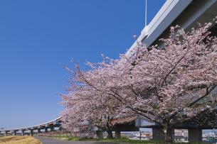 首都高速道路川口線と桜の写真素材 [FYI04878511]