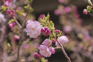 八重桜 ピンクの福禄寿の写真素材 [FYI04878512]