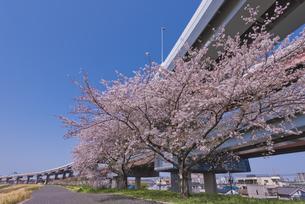 首都高速道路川口線と桜の写真素材 [FYI04878515]