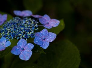 雨に濡れるアジサイ(紫陽花)の花のクローズアップの写真素材 [FYI04878516]