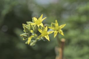 花 多肉植物 黄色の花で恋心の写真素材 [FYI04878534]