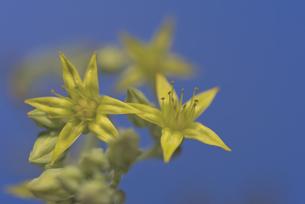 花 多肉植物 黄色の花で恋心の写真素材 [FYI04878536]