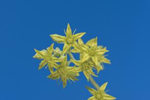 花 多肉植物 黄色の花で恋心の写真素材 [FYI04878538]