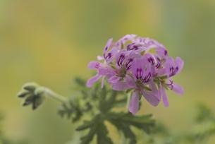 花 ハーブ ピンクの花で虫よけの蚊連草の写真素材 [FYI04878591]