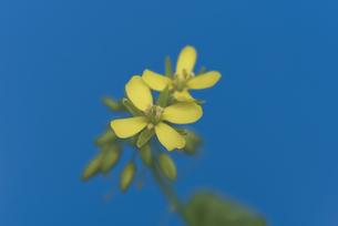 花 小松菜 黄色の写真素材 [FYI04878593]