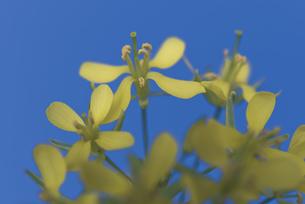 花 小松菜 黄色の写真素材 [FYI04878594]