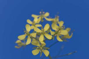 花 小松菜 黄色の写真素材 [FYI04878595]