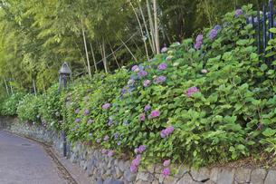 花 飛鳥山公園の飛鳥の小道のアジサイの写真素材 [FYI04878601]