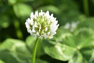クローバー(シロツメクサ・白詰草・マメ科・常緑多年草)の白色の花の写真素材 [FYI04878698]