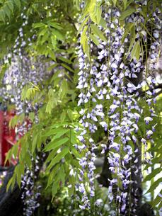 フジの花の写真素材 [FYI04878802]