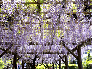 フジの花の写真素材 [FYI04878803]