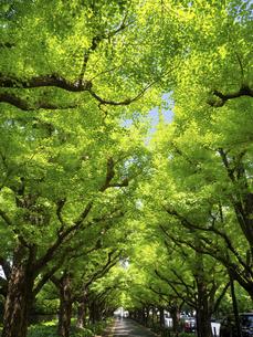 神宮外苑のイチョウ並木 東京都の写真素材 [FYI04878929]