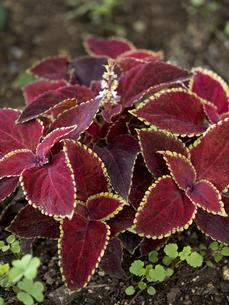 観葉植物 コリウスの写真素材 [FYI04878976]