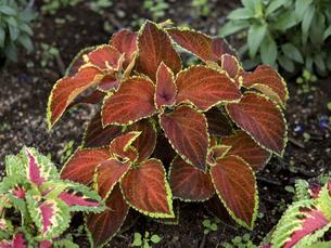 観葉植物 コリウスの写真素材 [FYI04878978]