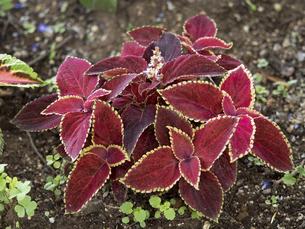 観葉植物 コリウスの写真素材 [FYI04878983]