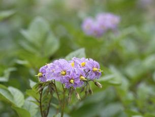 ジャガイモの花の写真素材 [FYI04878994]