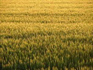 麦畑の写真素材 [FYI04879117]