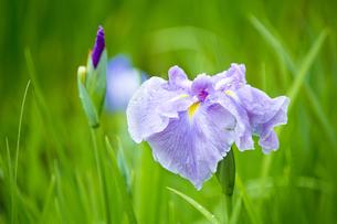 雨上がりの花菖蒲の写真素材 [FYI04879212]