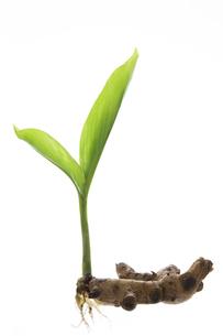 ウコンの新芽の写真素材 [FYI04879258]