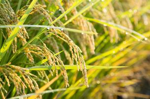 朝露に輝く収穫間近の稲の写真素材 [FYI04879339]