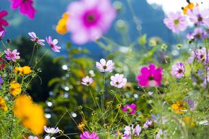 コスモス咲く斑鳩の里の写真素材 [FYI04879344]