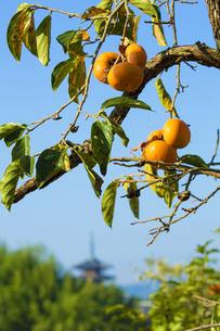 柿と法隆寺遠望の写真素材 [FYI04879346]