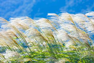 風になびくススキの穂の写真素材 [FYI04879355]