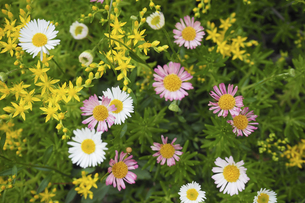 万年草とエリゲロンの花の写真素材 [FYI04879363]