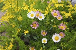 万年草とエリゲロンの花の写真素材 [FYI04879364]