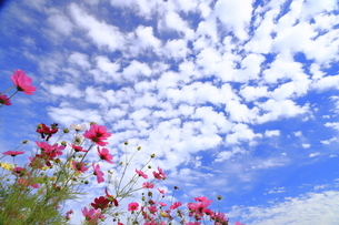 うろこ雲とコスモスの写真素材 [FYI04879409]
