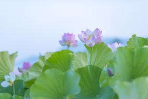 臼杵石仏公園のハス畑の写真素材 [FYI04879438]