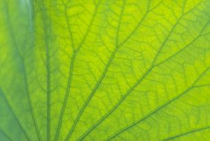ハスの葉の写真素材 [FYI04879449]
