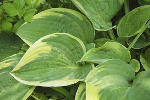 ギボウシの葉の写真素材 [FYI04879516]