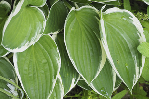 ギボウシの葉の写真素材 [FYI04879529]
