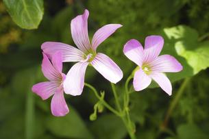 カタバミの花の写真素材 [FYI04879537]