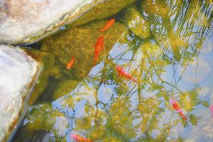 金魚の写真素材 [FYI04879585]