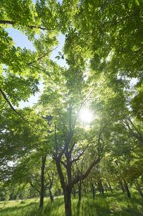 新緑の葉っぱの写真素材 [FYI04879754]