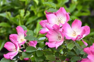 ピンク色の花弁に花芯付近か白い色のバラ(バラ科バラ属)の花と葉の写真素材 [FYI04879869]