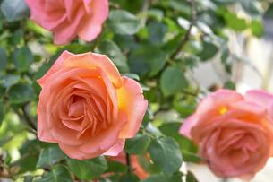 濃いオレンジ色のバラ(バラ科バラ属)の花と葉の写真素材 [FYI04879872]