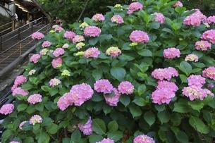 アジサイの花の写真素材 [FYI04880315]