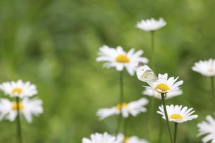 フランス菊の蜜を吸うモンシロチョウの写真素材 [FYI04880616]