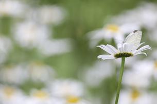 フランス菊の蜜を吸うモンシロチョウの写真素材 [FYI04880650]