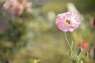 ピンク色のポピーの写真素材 [FYI04881028]