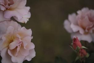 バラと蕾の写真素材 [FYI04881034]