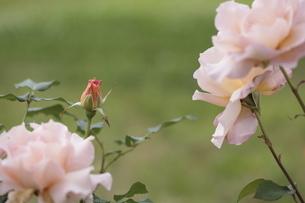 バラの蕾の写真素材 [FYI04881035]