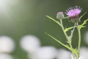 フランス菊の花畑に咲くノアザミの写真素材 [FYI04881152]