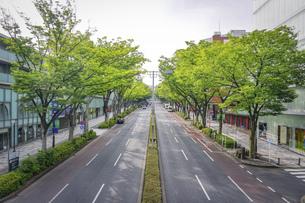 静かな朝の表参道、新緑のケヤキ並木の写真素材 [FYI04881381]