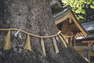 福岡県糸島市の六所神社のクスノキ(福岡県指定天然記念物)の写真素材 [FYI04881429]